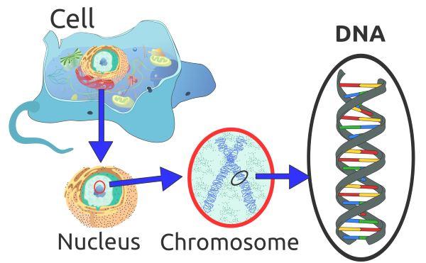 2000px-Eukaryote_DNA-en